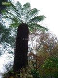 Dicksonia antarctica trunk 50-60 cm [pallet]_