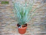 Dasylirion serratifolium trunk 20-30 [pallet]_