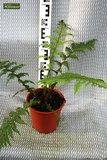 Cyathea cooperi pot Ø 40 cm [pallet]_