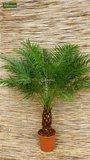 Phoenix roebelenii - trunk 20-30 cm - total height 100-120 cm - Ø 26 cm pot_
