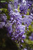 Wisteria sinensis total height 160+ cm - 3 Ltr pot_