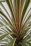 Cordyline australis Torbay Dazzler pot Ø 9 cm_