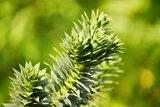 Araucaria araucana pot 2 ltr_