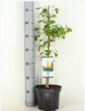 Ginkgo biloba pot Ø 19cm - 3 ltr_