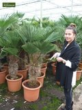 Trachycarpus wagnerianus - trunk 15+ cm - total height 80-100 cm - pot Ø 26cm_