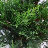 Cupressocyparis leylandii - total height 100-120 cm - pot 4 ltr_