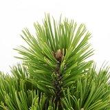 Pinus heldreichii Compact Gem - total height 40-50 cm - pot 3 ltr_
