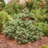 Pinus parviflora Negishi - total height 50-60 cm - pot 5 ltr_