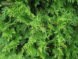 Thuja occidentalis Brabant (CONTAINERPLANT) - 5 ltr pot - 100-120 cm_