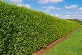 Thuja occidentalis Brabant (CONTAINERPLANT) - 2 Ltr pot - 70-80 cm_
