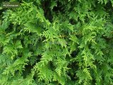 Thuja occidentalis Brabant (CONTAINERPLANT) 2 ltr pot - total height 50-70 cm_