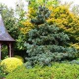 Pinus parviflora Glauca - total height 50-60 cm - pot 3 ltr_