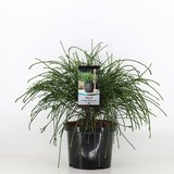 Thuja plicata whipcord - total height 40+ cm - pot 5 ltr_