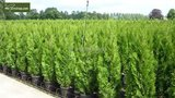 Thuja occidentalis Smaragd (CONTAINERPLANT) - total height 100-120 cm - pot 7.5 ltr_
