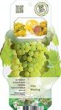 7859 -  Vitis riesling - totale hoogte 60-80 cm - 2 ltr pot label