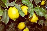 Citrus limon - total heigth 200+ cm - pot Ø 55 cm [pallet]_