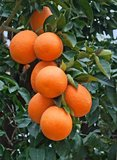 Citrus sinensis - total height 140-160 cm - pot Ø 26 cm_