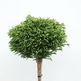 Cryptomeria japonica Little Champion trunk - total heigth 200+ cm - pot 18 ltr [Pallet]_