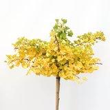 Ginkgo Biloba trunk - total height 200+ cm - pot 18 ltr [Pallet]_