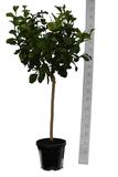 Citrus medica Digitata - total height 160-180 cm - pot Ø 35 cm_
