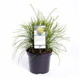 Platycladus orientalis Franky Boy - total height 40-50 cm - pot 3 ltr_