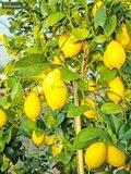 Citrus limon - total height 160-180 cm - Ø 26 cm pot_