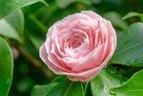 Camellia japonica Bonomiana Nova 3 ltr_