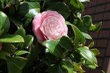 Camellia japonica Double Pink 3 ltr_