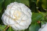Camellia japonica Alba Plena 3 ltr_