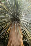 Yucca rostrata - set of 3 - total height 70-90 cm - pot 26 cm_