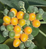 Solanum abutiloides P11_