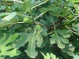 Ficus carica Sp. Précoce de Dalmate pot Ø 17 cm_