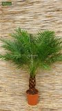 Phoenix roebelenii - trunk 60-80 cm - total height 140-180 cm - pot Ø 35 cm [pallet]_