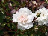 Rosa Sea Foam 1 ltr_