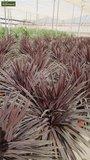 Cordyline australis Purple Tower pot Ø 22 cm_