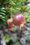 Punica granatum Pleniflora pot Ø 17 cm_