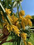 Trachycarpus fortunei - trunk 100-120 cm -  total height 200-250 cm - pot Ø 50 cm [pallet]_