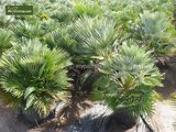 Chamaerops humilis Vulcano - total height 45-55 cm - pot Ø 18 cm_