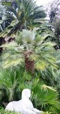 Chamaerops humilis - trunk 40-60 cm - total height 160-180 cm - pot Ø 55 cm [pallet]_