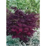 Acer palmatum Atropurpureum-dark purple - total height 30-40 cm - 9x9 cm pot_