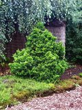 Chamaecyparis obtusa Nana Gracilis -  total heigth 40-50 cm - pot 5 ltr_