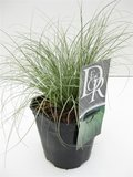Carex comans Frosted Curls - totale hoogte 40-50 cm - pot 2 ltr_