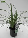 Carex morrowii Ice Dance - total height 40-50 cm - pot 2 ltr_