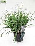 Carex laxiculmis Bunny Blue - total height 40-50 cm - pot 2 ltr_