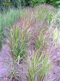 Panicum virgatum Squaw - total height 50-60 cm - pot 2 ltr_