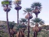 Trithrinax campestris multitrunk -  total height 90-120 cm - pot Ø 40 cm [pallet]_
