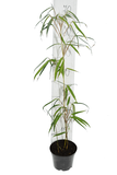 Fargesia robusta Wolong - total height 60+ cm - pot 1 ltr_