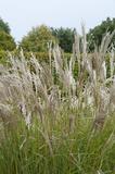 Miscanthus sinensis Kleine Silberspinne - pot 5 ltr_