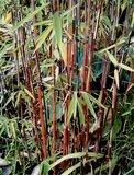 Fargesia jiuzhaigou total height 70-90 cm - pot 2 ltr_
