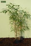 Pseudosasa japonica - total height 150+ cm - pot 5 ltr_